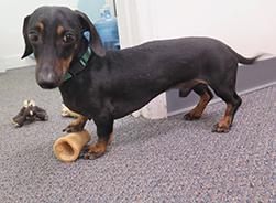 black and brown miniature dachshund