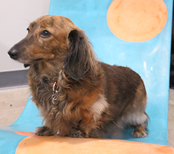 long haired brindled miniature dachshund on concrete lounge chair